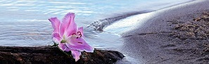 scattering ashes at sea nyc pink flower in water