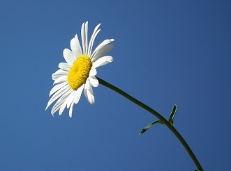 what is a direct cremation daisy photo